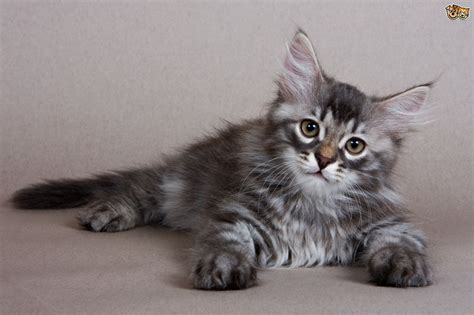 cat breeds pets lovely cats domestic pets4homes pet there