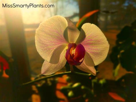 will an orchid bloom again will my orchid bloom again miss smarty plants