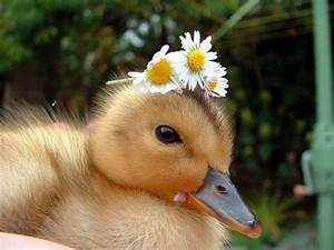 Cute Kawaii Animal: Thinking of Raising Baby Ducks? What ...