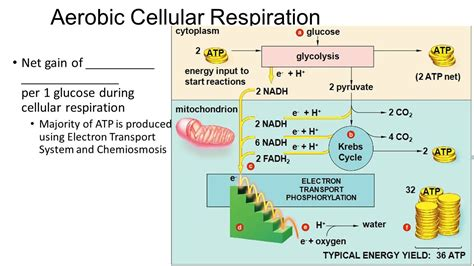 during cellular respiration energy is d in the form of energy etfs