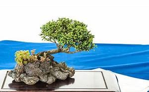 Chinesischer Wacholder Bonsai : nadelb ume auf der bonsai fr hjahrsausstellung des ak aichtal filder 2012 teil 4 ~ Sanjose-hotels-ca.com Haus und Dekorationen