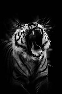 tiger roar on Tumblr