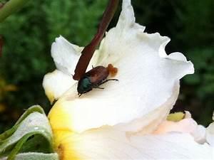 Schädlinge An Rosen : wir lieben rosen rosen sch dlinge der ~ Lizthompson.info Haus und Dekorationen