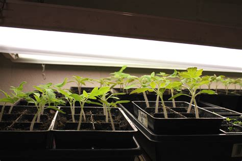 fluorescent light bulbs growing plants fluorescent grow lights why t5 lights are the best grow lights for seedlings t5 grow cheap