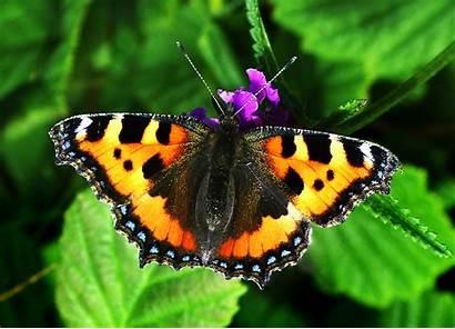 Tortoiseshell Butterfly Butterflies Species Cumbria Identification Overview