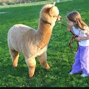 Fluffy llama!!!