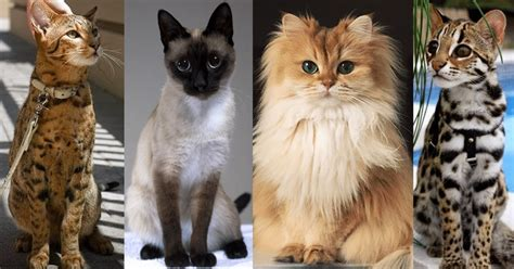 breeds cat expensive most cats costing popular there catsincare
