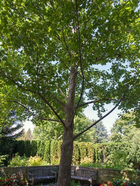 american sycamore chicago botanic garden