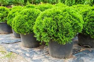 zypresse im topf so pflegen sie sie richtig With französischer balkon mit säulenförmige bäume für kleine gärten