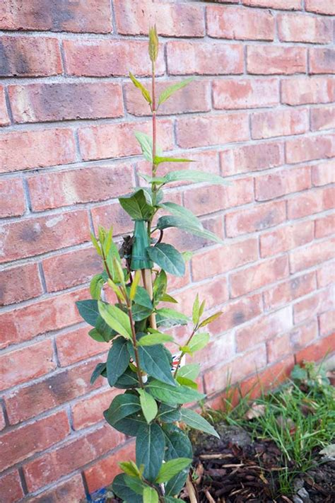 Evergreen Climbing Plants For A Garden Wall Hornby