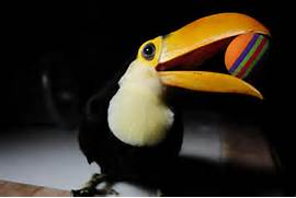 Raising Our Baby Toucan Rocko  Addressing Early Signs of Aggression  Baby Toco Toucans