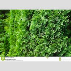 Saturated Green Leaves Of Thuja Bright Lush Foliage