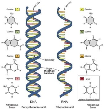 Differences Between Dna And Rna (dna Vs Rna)  Biology Exams 4 U