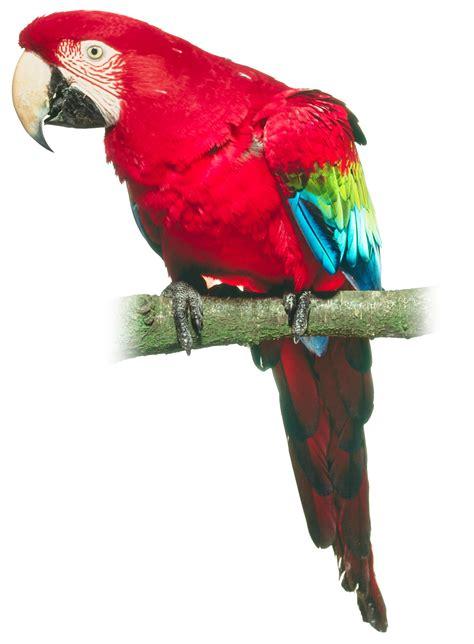 pet parrot did pirates have pet parrots history lessons dk find out