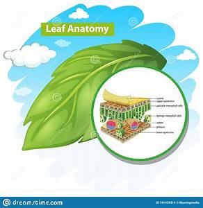Diagram Showing Leaf Anatomy Stock Vector