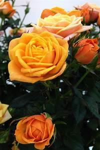 sweet family sweet home roses roses forever
