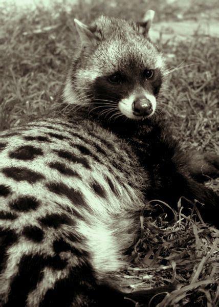 african civet  etsy  stunning animals