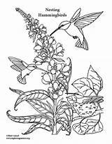 Coloring Hummingbirds Hummingbird Pages Feeding Nesting Exploringnature Colouring Animals Printing Pdf sketch template