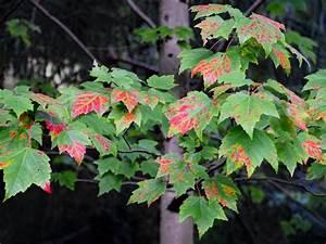 Ahorn Rote Blätter : zierb ume zierbaumarten ~ Eleganceandgraceweddings.com Haus und Dekorationen