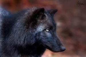 Black Wolf Profile | Photo: © Tami Hrycak Lakota Wolf ...