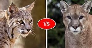 Compare Bobcat Vs Cougar (Mountain Lion) Fight, who win will?