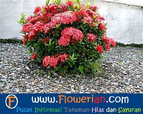 merawat bunga soka tanaman hias bunga buah  sayur