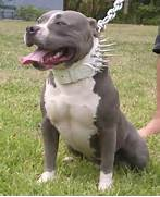 Fash Craze  American Pit Bull Terrier Dogs  Bull Terrier Blue Nose Pitbull Mix