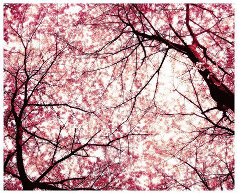 cherry blossom tree l japanese cherry tree sakura images sakura hd wallpaper