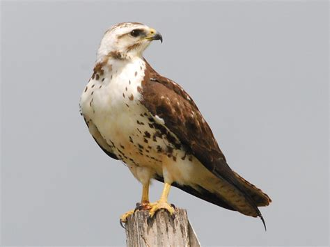 all wallpapers ferruginous hawk pictures