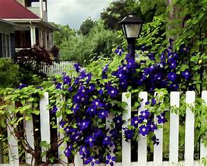Clematis On White Picket Fence Photograph by Tom Brickhouse
