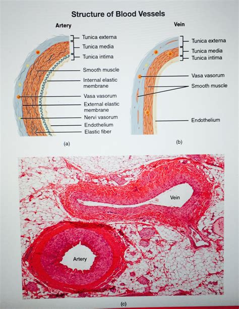 Blood may flow out of the body, as external bleeding, or it may flow into the spaces around organs or directly into organs. Pin on Histology