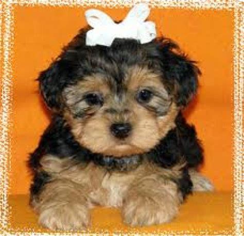 do yorkie poos bark a lot mixed breed yorkie poo