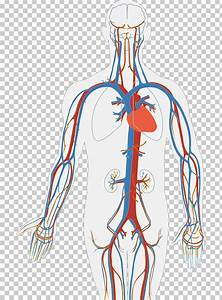 Human Body Diagram Download Free