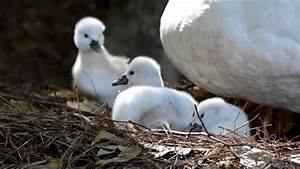 Baby swans taking their first walk - YouTube