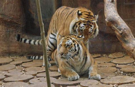 tiergartennuernbergde tiger im tiergarten vereint
