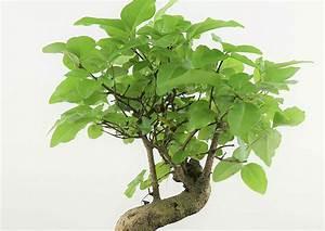 Pflanzen Für Drinnen : kleiner baum ganz gro bonsais sind drau en und drinnen gern gesehene g ste ~ Frokenaadalensverden.com Haus und Dekorationen