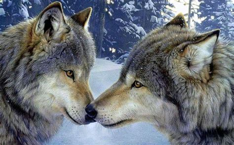 wallpapers wolf  wolf wallpaperspro