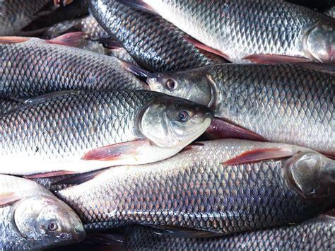 popular freshwater fish species  indian rivers thinkpedia