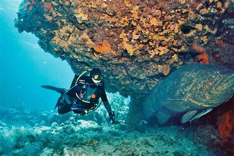 grouper goliath diver lb