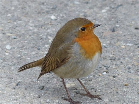 what color is a robin free photo bird robin animal free image on pixabay
