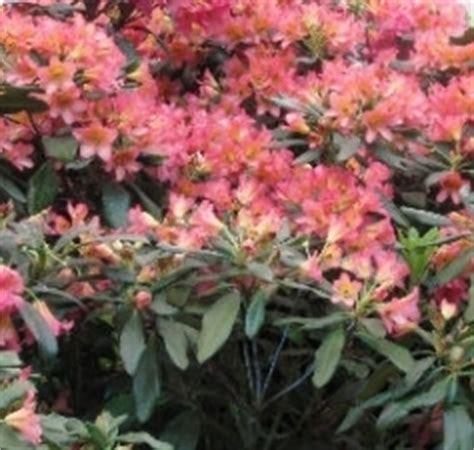 Spesso le nostre siepi delimitano un'area del giardino, oppure vengono utilizzate per ombreggiare una zona molto calda in estate; siepi fiorite - Speciali
