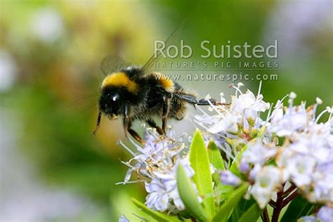 bumble bee bombus sp pollinating native hebe flowers