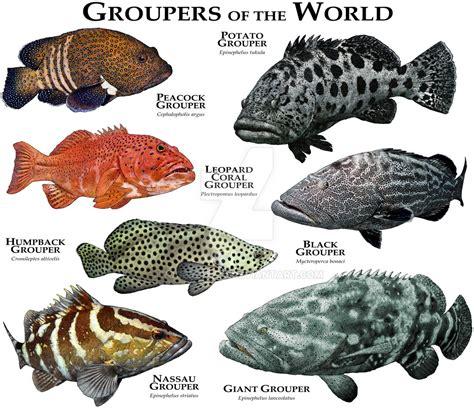 fish groupers grouper species rogerdhall sea poster chart identification print fishing deviantart saltwater types illustration animals aquarium north hall etsy