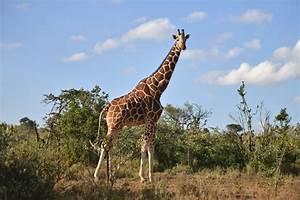 Woman Called 'White American Savage' for Dead Giraffe ...  Giraffe