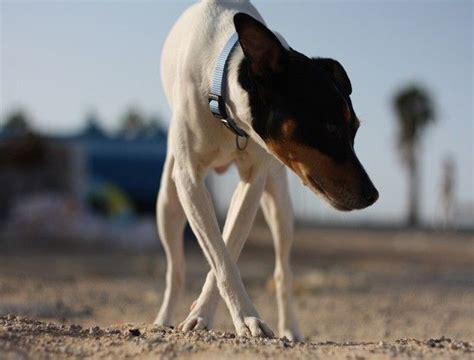 hunting dogs dog petside andaluz bodeguero
