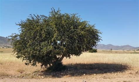olio di argan uso alimentare olio di argan l olio marocchino per uso cosmetico e