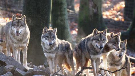 europaeische woelfe haben zoo osnabrueck verlassen