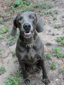 blue vs silver weimaraner dog breeds picture