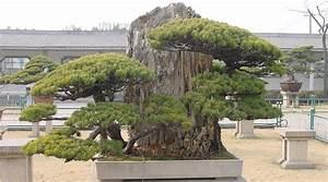 madchenkiefer bonsai pflege With französischer balkon mit garten bonsai baum