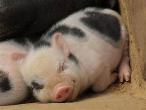 Cute Pigs On Tumblr